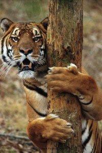 Tigre abrazando arbol afilandose las garras Groupes Joëlle Adam