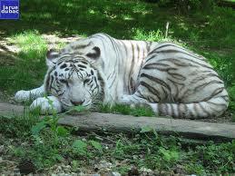 Tigre blanco echado Groupes Joëlle Adam