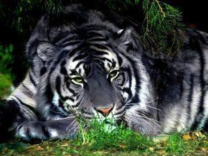 Tigre blanco-gris Groupes Joëlle Adam