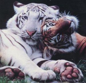 Tigre blanco y de Bengala Groupes Joëlle Adam
