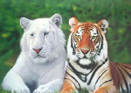 Tigre de Bengala y albino Groupes Joëlle Adam