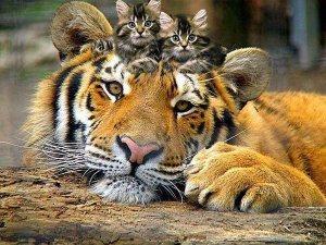 Tigre y gatitos Groupes Joëlle Adam