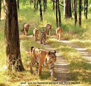 Tigres caminando Groupes Joëlle Adam