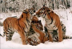 Tigres en la nieve Groupes Joëlle Adam
