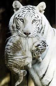 Tigresa blanca llevando cachorro Groupes Joëlle Adam