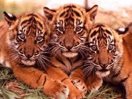 Tres tigres Groupes Joëlle Adam