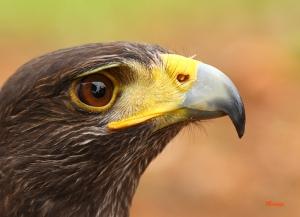 Gavilan o halcon