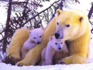 Osa polar con dos oseznos