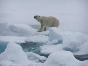 Oso polar en hielo derritiendose