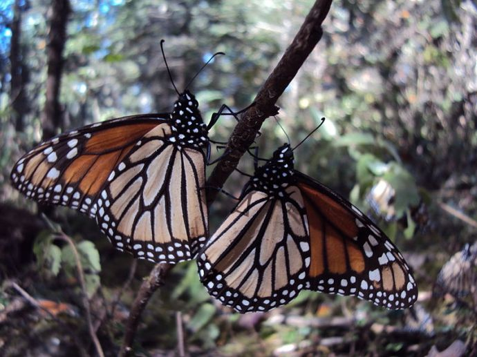Mariposa_monarca foto Liajes Wiki
