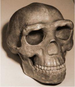 Skull_pekingman Wiki commons foto kevinzim, Homo Erectus