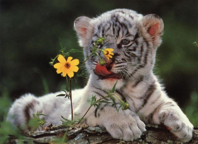 Cachoro de tigre blanco con flores Amigos Mundiales
