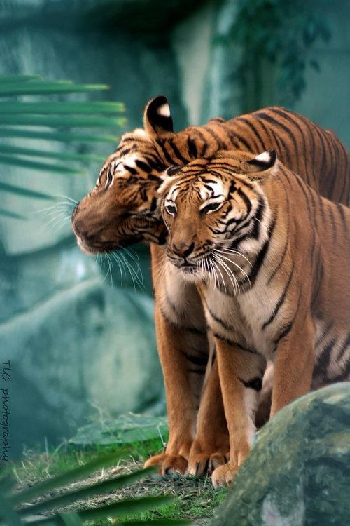 Dos tigres cariñosos Amigos Mundiales