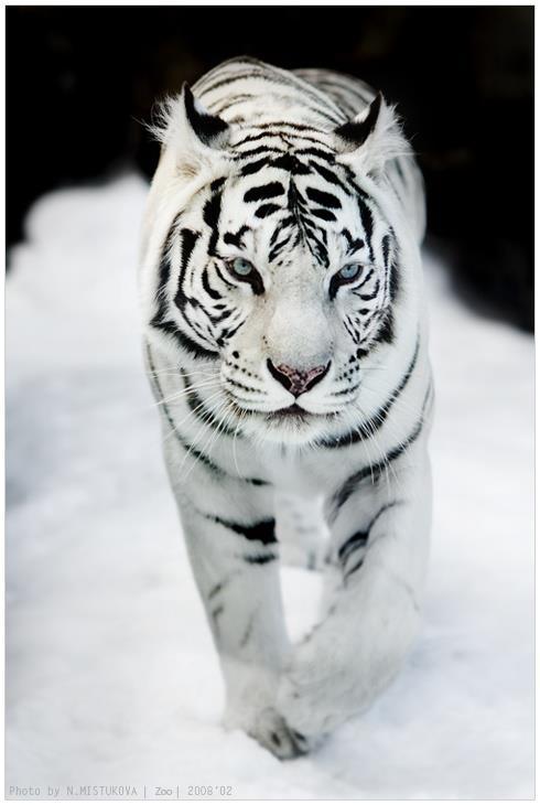 Tigre blanco en la nieva Amigos Mundiales