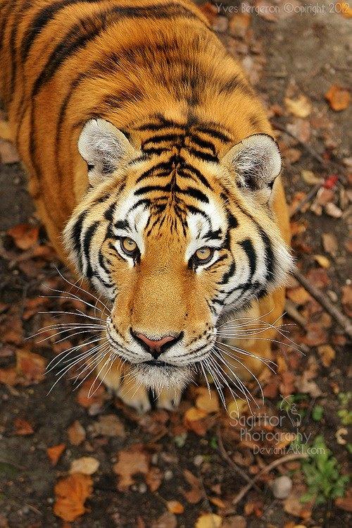 Tigre en hojas secas Amigos Mundiales
