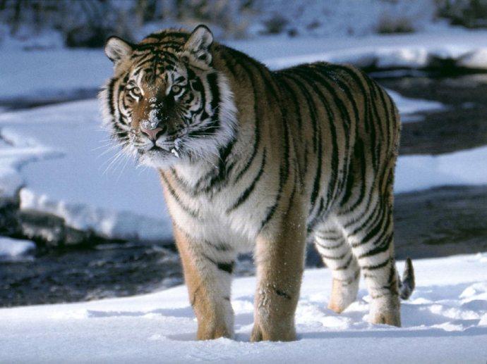 tigre_siberiano vertigo2040