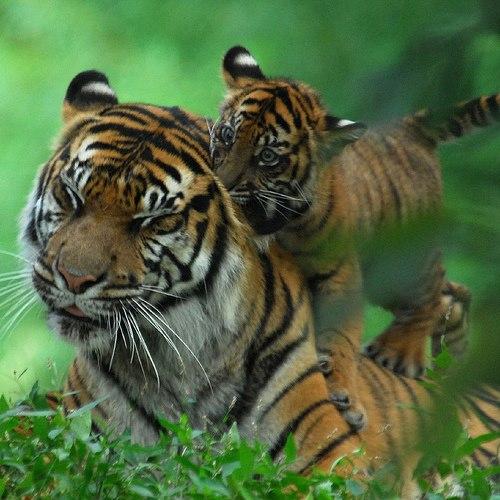 Tigrillo con su mama Amigos Mundiales