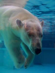 oso polar buceando en busca de alimento