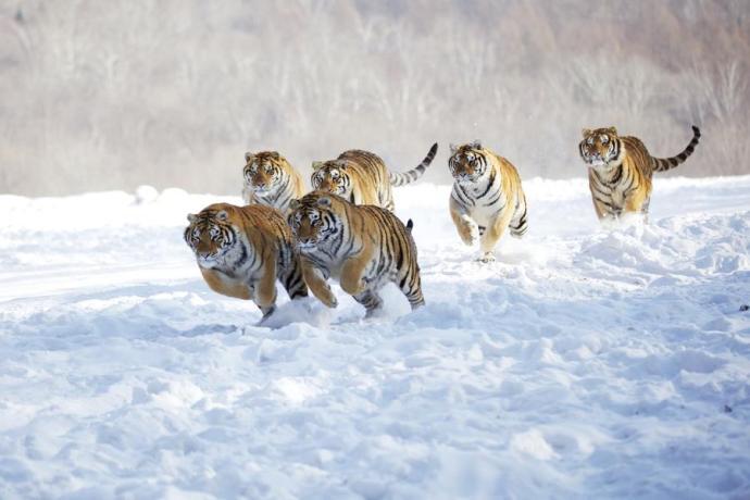 6 tigres libres corriendo en la nieve L'incanto d'amore dei poeti estinti