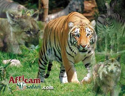 TIGRE AFRICAM-SAFARI1