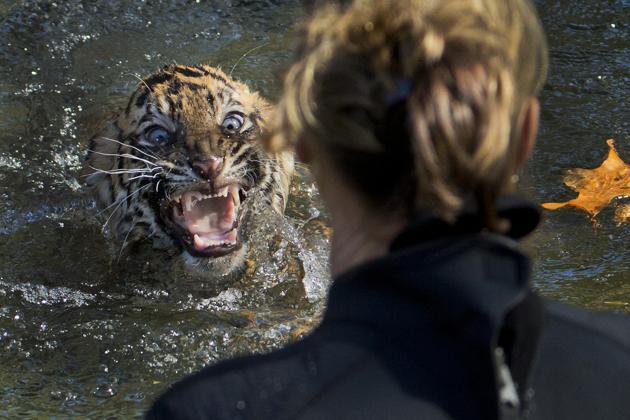 cachorro de tigre de Sumatra de tres meses Bandar descontento tras ser sumergido en el agua  prueba para saber si saben nadar Zoo Nacional Washington 2013. AP PhotoManuel Balce Ceneta