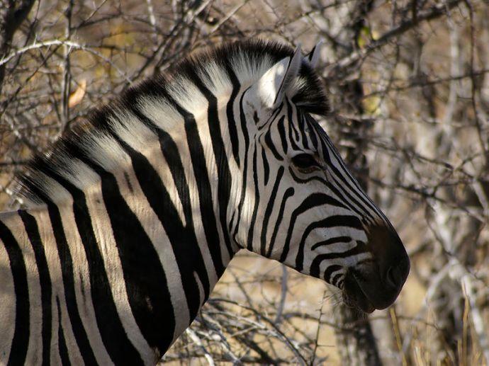 Cebra Equus_burchelli Hans Hillewaert
