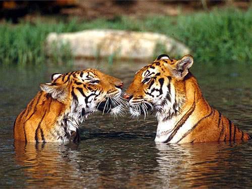 dos tigres en el agua cariñosos