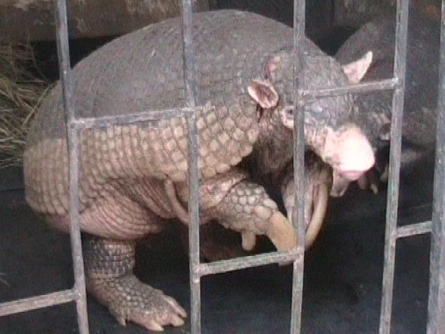 Giant_armadillo Pascaweb at English Wikipedia