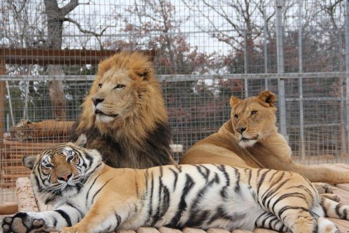 Leones y tigre en cautiverio The GW Zoo