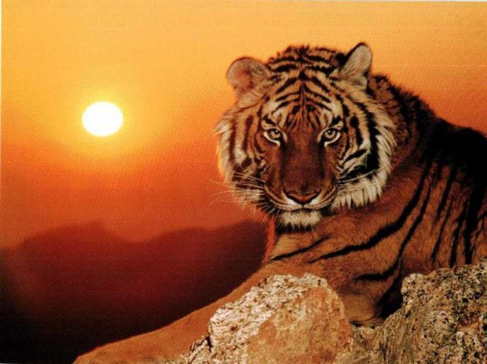 Tigre solitario