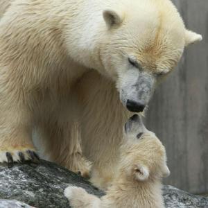 Osa polar y su osezno