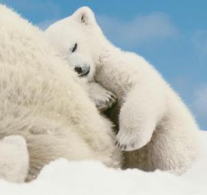 Osezno polar dormido con su mama Amigos Mundiales