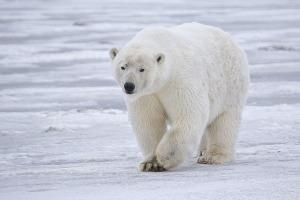 oso polar caminando en la nieve