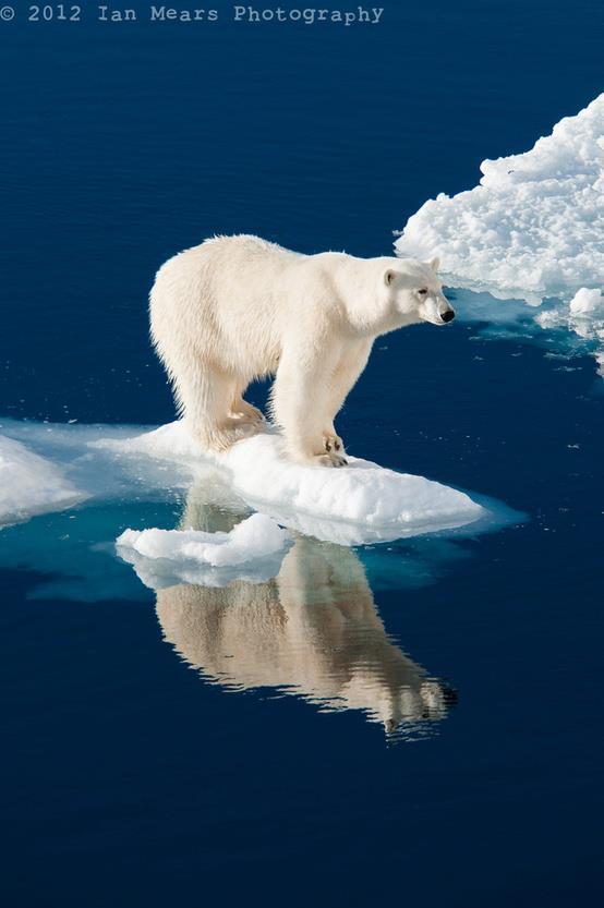 Oso polar en hielo derritiéndose Amigos Mundiales