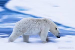 Oso polar en su elemento