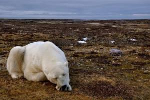 Oso polar sin hielo ni alimento