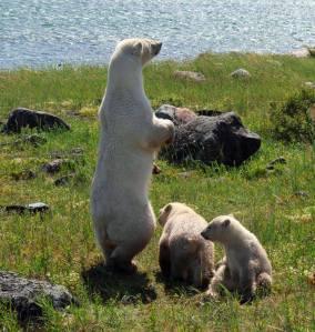 Osos polares mama osa y oseznos sin hielo