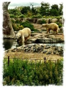 Osos polares no hielo no focas