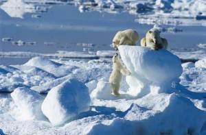 Osos polares oseznos jugando en la nieve