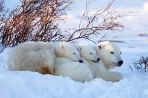 osos polares ternura
