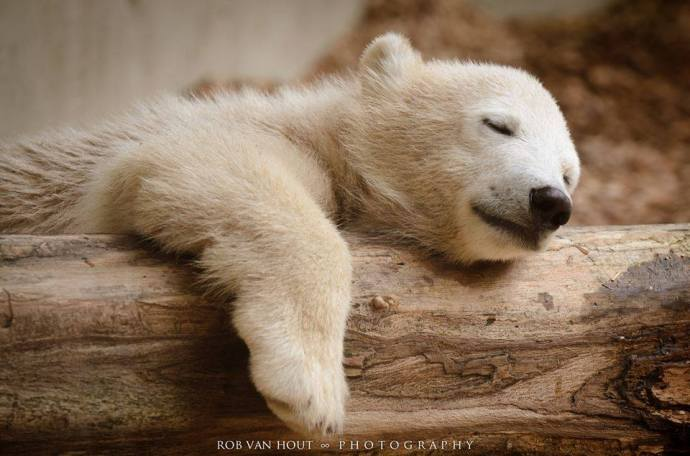Ozesno polar dormido