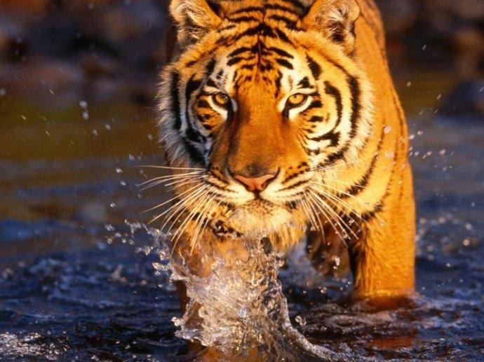 Tigre caminando en el agua internet