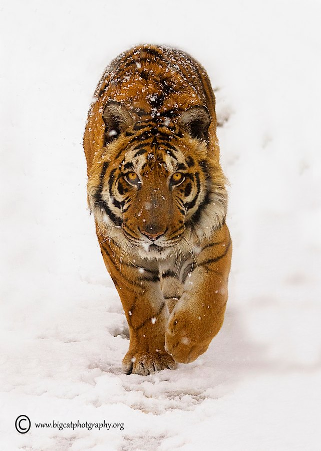 tigre en la nieve L'incanto d'amore dei poeti estinti