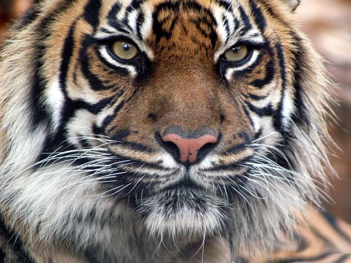 Tigre Indio