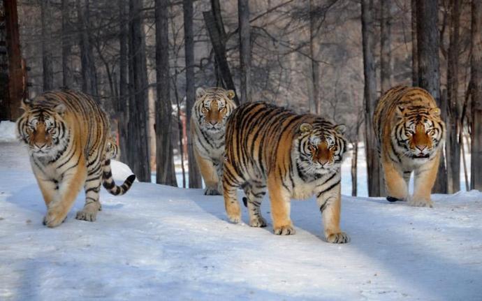 tigres en la nieve L'incanto d'amore dei poeti estinti