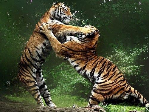 Tigres jugando en la selva