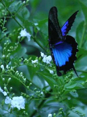 ulysses-butterfly-dusk