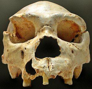 300px-Homo_heidelbergensis-Cranium_-5