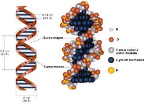 estructura-adn