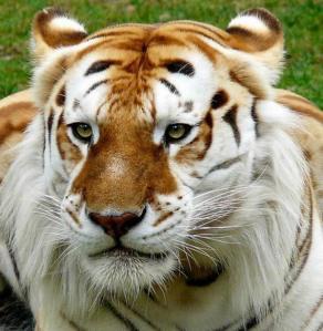 tigre-blanco-amarillo-groupes-joc3ablle-adam